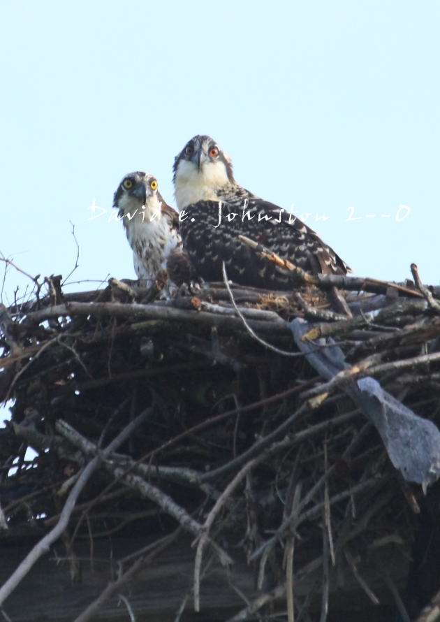 July 2009 photography from the field for Osprey catching fish